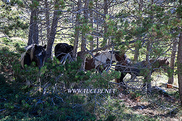 Nice, good, wild horses, mountain Biokovo